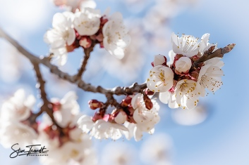 Apricot_02