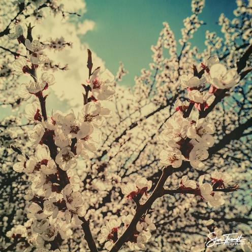 Apricot_04
